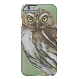 Ferruginous Pygmy-Owl, Glaucidium brasilianum, 3 Barely There iPhone 6 Case