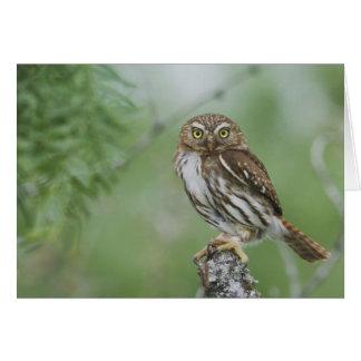 Ferruginous Pygmy-Owl, Glaucidium brasilianum, 3 Greeting Card