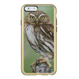 Ferruginous Pygmy-Owl, Glaucidium brasilianum, 3 Incipio Feather Shine iPhone 6 Case