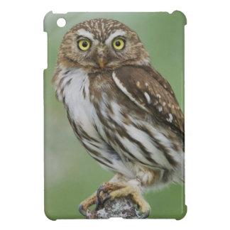 Ferruginous Pygmy-Owl, Glaucidium brasilianum, 3 iPad Mini Cases