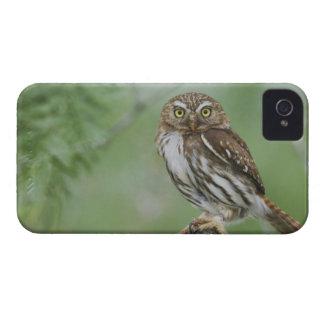 Ferruginous Pygmy-Owl, Glaucidium brasilianum, 3 iPhone 4 Case