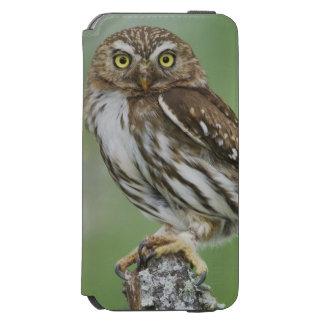 Ferruginous Pygmy-Owl, Glaucidium brasilianum, 3 iPhone 6/6s Wallet Case