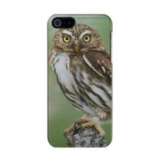 Ferruginous Pygmy-Owl, Glaucidium brasilianum, 3 Metallic Phone Case For iPhone SE/5/5s
