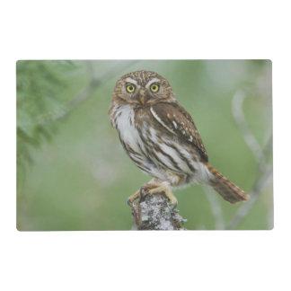 Ferruginous Pygmy-Owl, Glaucidium brasilianum, 3 Placemat