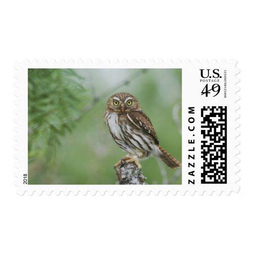 Ferruginous Pygmy-Owl, Glaucidium brasilianum, 3 Postage