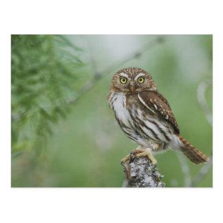 Ferruginous Pygmy-Owl, Glaucidium brasilianum, 3 Postcard