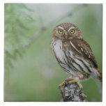 Ferruginous Pygmy-Owl, Glaucidium brasilianum, 3 Large Square Tile