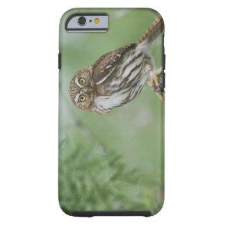 Ferruginous Pygmy-Owl, Glaucidium brasilianum, 3 Tough iPhone 6 Case