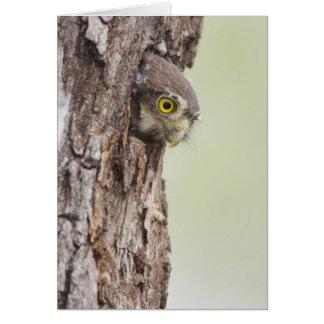 Ferruginous Pygmy-Owl, Glaucidium brasilianum, 4 Cards