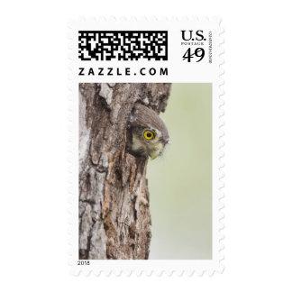 Ferruginous Pygmy-Owl, Glaucidium brasilianum, 4 Stamp