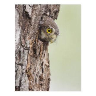 Ferruginous Pygmy-Owl, Glaucidium brasilianum, 4 Postcard