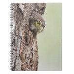 Ferruginous Pygmy-Owl, Glaucidium brasilianum, 4 Spiral Notebook