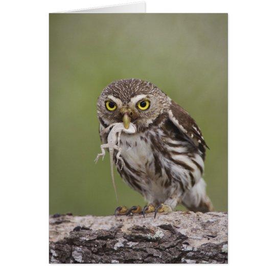 Ferruginous Pygmy-Owl, Glaucidium brasilianum, 5 Card