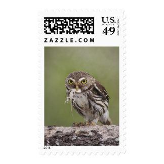 Ferruginous Pygmy-Owl, Glaucidium brasilianum, 5 Stamp