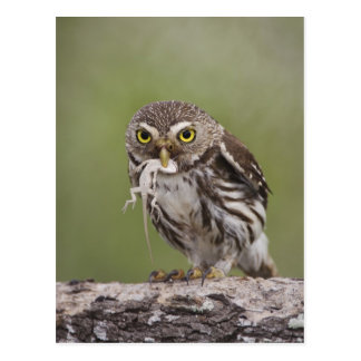 Ferruginous Pygmy-Owl, Glaucidium brasilianum, 5 Postcard