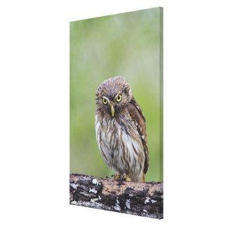 Ferruginous Pygmy-Owl, Glaucidium brasilianum, 6 Canvas Print