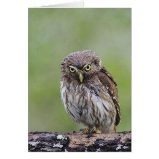 Ferruginous Pygmy-Owl, Glaucidium brasilianum, 6 Card