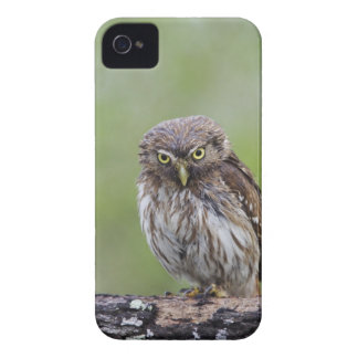 Ferruginous Pygmy-Owl, Glaucidium brasilianum, 6 Case-Mate iPhone 4 Case