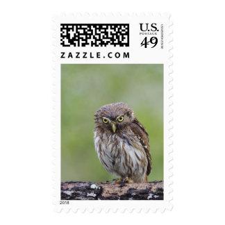 Ferruginous Pygmy-Owl, Glaucidium brasilianum, 6 Postage Stamps