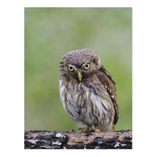 Ferruginous Pygmy-Owl, Glaucidium brasilianum, 6 Postcard