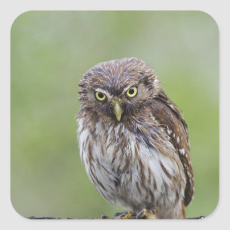 Ferruginous Pygmy-Owl, Glaucidium brasilianum, 6 Square Sticker