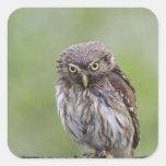 Ferruginous Pygmy-Owl, Glaucidium brasilianum, 6 Square Sticker
