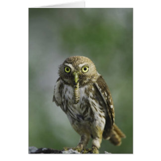 Ferruginous Pygmy-Owl, Glaucidium brasilianum, 7 Greeting Card