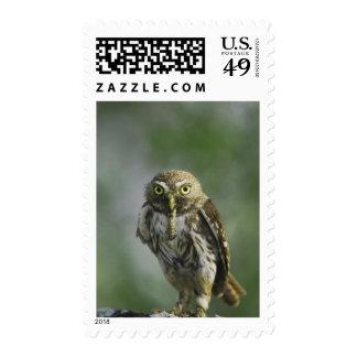 Ferruginous Pygmy-Owl, Glaucidium brasilianum, 7 Postage Stamps