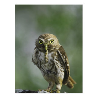 Ferruginous Pygmy-Owl, Glaucidium brasilianum, 7 Postcard