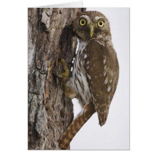 Ferruginous Pygmy-Owl, Glaucidium brasilianum, 8 Greeting Cards