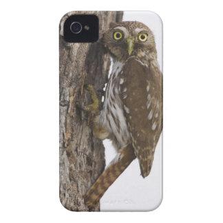 Ferruginous Pygmy-Owl, Glaucidium brasilianum, 8 iPhone 4 Cover