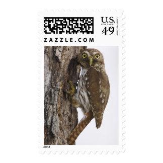 Ferruginous Pygmy-Owl, Glaucidium brasilianum, 8 Postage Stamp