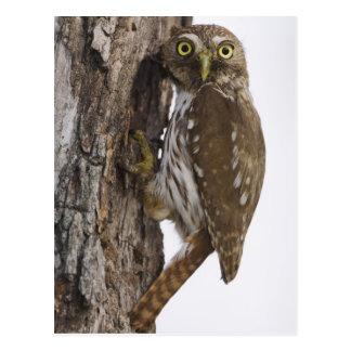 Ferruginous Pygmy-Owl, Glaucidium brasilianum, 8 Postcard
