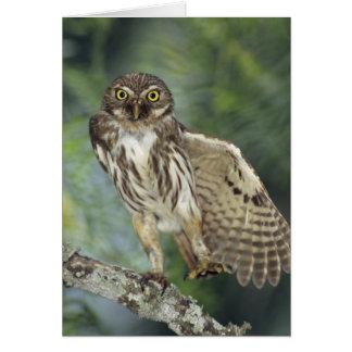 Ferruginous Pygmy-Owl, Glaucidium brasilianum, Cards