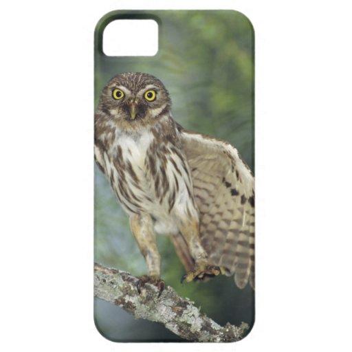 Ferruginous Pygmy-Owl, Glaucidium brasilianum, iPhone 5 Covers