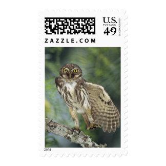 Ferruginous Pygmy-Owl, Glaucidium brasilianum, Postage