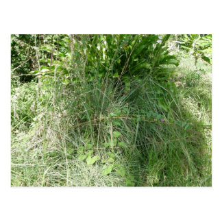 Fever Grass Dominica Postcard