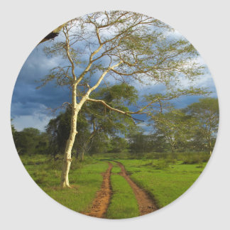 Fever Tree (Acacia Xanthophloea) By Dirt Track Classic Round Sticker
