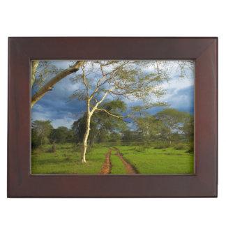 Fever Tree (Acacia Xanthophloea) By Dirt Track Keepsake Box