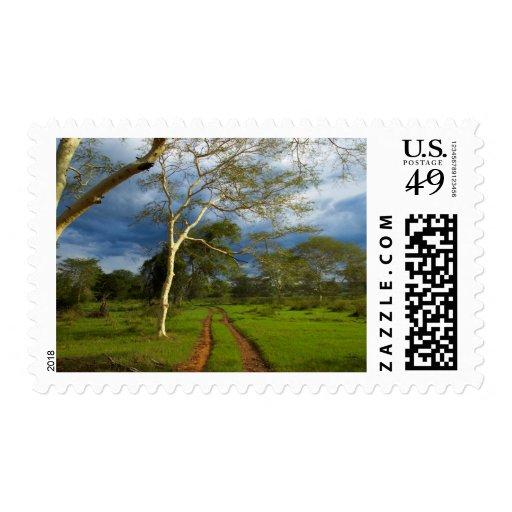 Fever Tree (Acacia Xanthophloea) By Dirt Track Stamp
