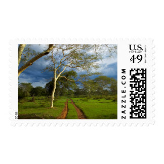 Fever Tree (Acacia Xanthophloea) By Dirt Track Postage Stamps