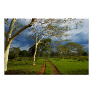 Fever Tree (Acacia Xanthophloea) By Dirt Track Poster