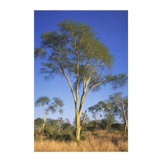 Fever Tree (Acacia Xanthophloea), Punda Maria Canvas Print