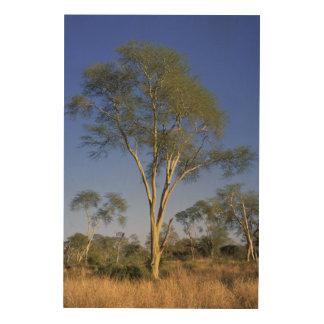 Fever Tree (Acacia Xanthophloea), Punda Maria Wood Wall Art
