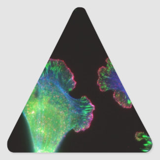 Fibroblastos embrionarios del ratón pegatinas triangulo