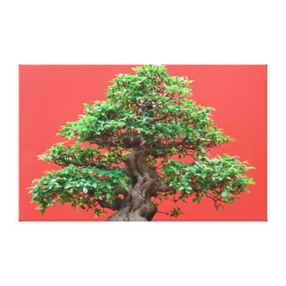 Ficus bonsai stretched canvas prints