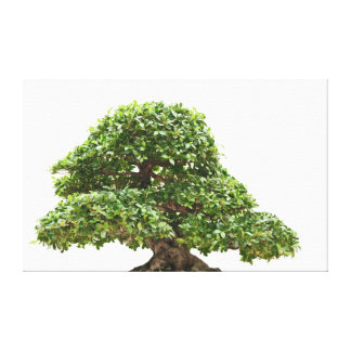 Ficus bonsai isolated canvas prints