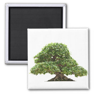 Ficus bonsai isolated magnets