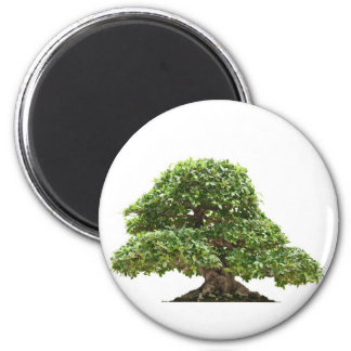 Ficus bonsai isolated magnet