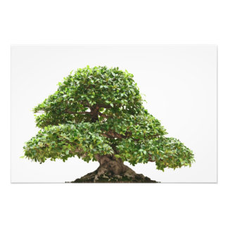Ficus bonsai isolated photo